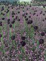 tulip-fields-339963__480